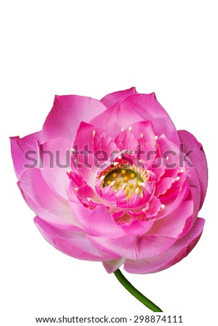 Artificial lotus flower isolated on white background, Clipping path - stock photo