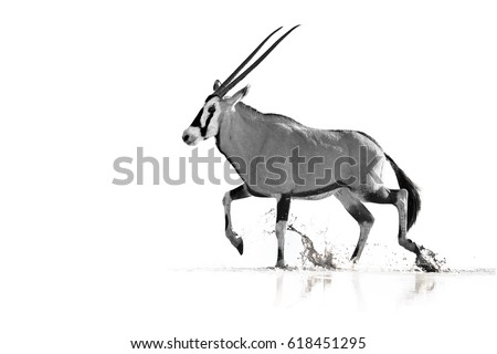 Artistic, black and white photo of large antelope with spectacular horns, Gemsbok, Oryx gazella, walking in the water, isolated on white background with touch of environment. Kalahari, South Africa.