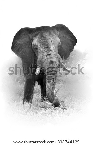 Artistic, black and white vertical photo of African bush elephant, Loxodonta africana, big tusker from front view, isolated on white background with a touch of environment. Kruger national park, SA. - stock photo