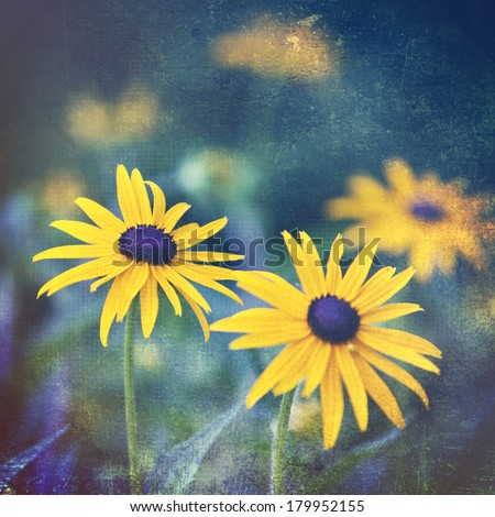Artistic black eyed susans in the garden with a vintage texture overlay - stock photo