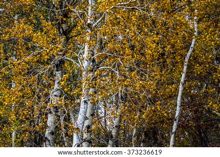 artistic fall view of trunks of birch trees in autumn - stock photo