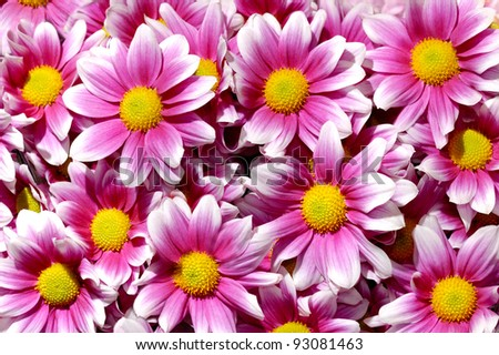 Artistic floral background with colorful purple white yellow chrysanthemums daisy flowers - stock photo