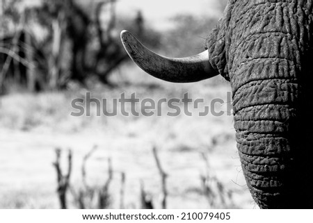 Artistic photo of an elephant trunk and tusk - stock photo
