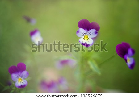 artistic photo of pansies on the green garden background