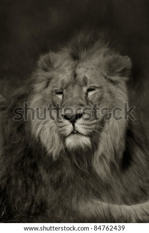 Artistic portrait of a Lion, in black and white