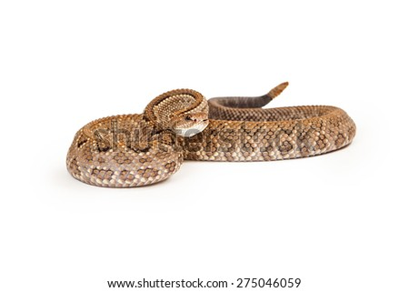Aruba Rattlesnake - A critically endangered (CR) species of venomous pitviper snakes mainly found in the Caribbean. Snake is coiled up with a defense position. - stock photo