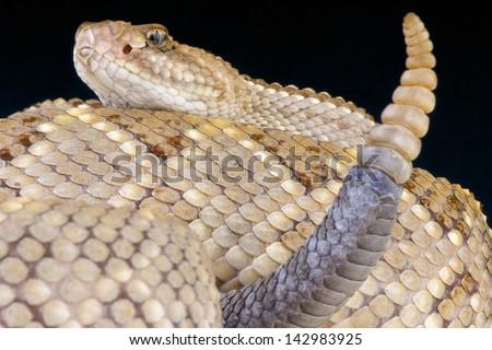 Aruba rattlesnake / Crotalus durissus unicolor - stock photo