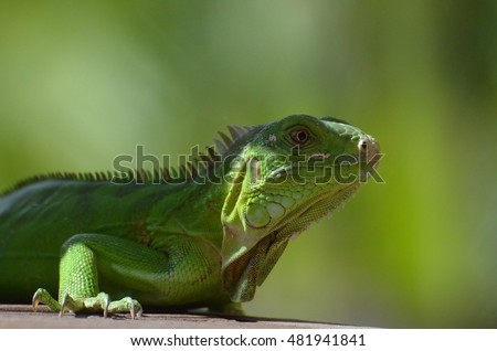 Aruba's green iguana hanging out in the sunshine.