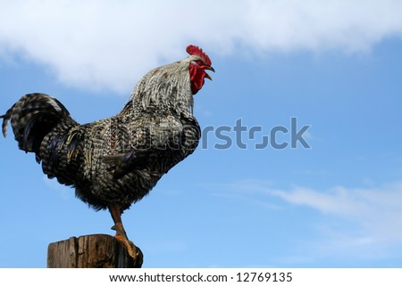 Arucauna rooster crowing perched on fencepost - stock photo