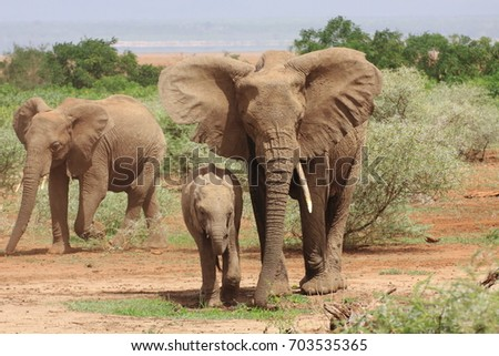 Arusha /Tanzania- January, 2011 : A group of African Elephants crossing the plains near Lake Manyara National Park.