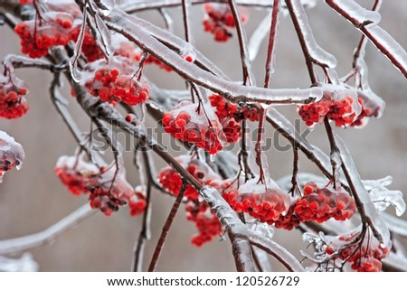 Ash-berry covered with ice in the winter - stock photo