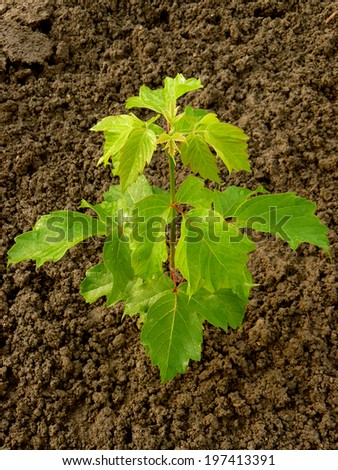 ash-leaved maple sapling two and half months from germination - stock photo