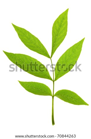 Ash tree leaf on  isolated