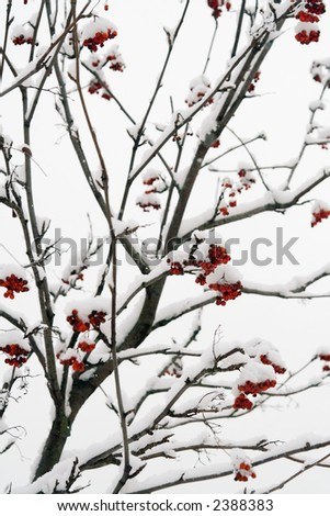 Ashberry on a snowy treebranch - stock photo