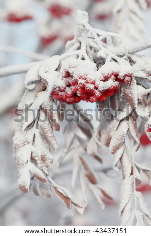 Ashberry on  snowy tree branch. - stock photo
