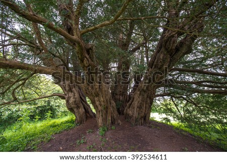Ashbrittle yew tree