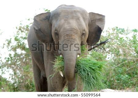 asia elephant - stock photo