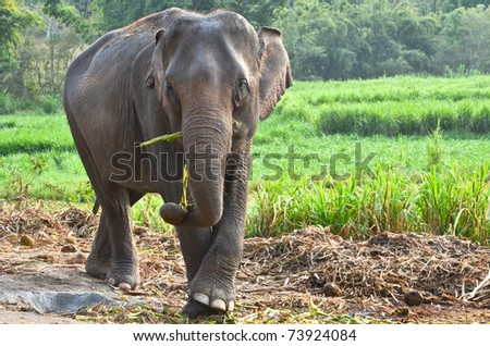 asia elephant in Thailand - stock photo