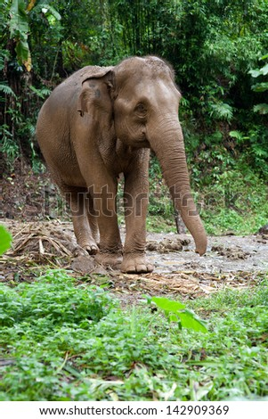 Asia elephant in the jungle