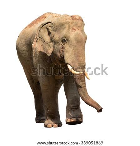 Asia elephant isolated on white background - stock photo