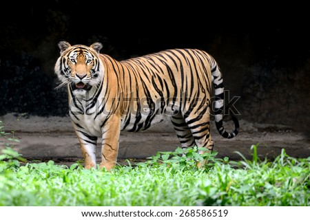 Asia Tiger full length of body show striped skin - stock photo