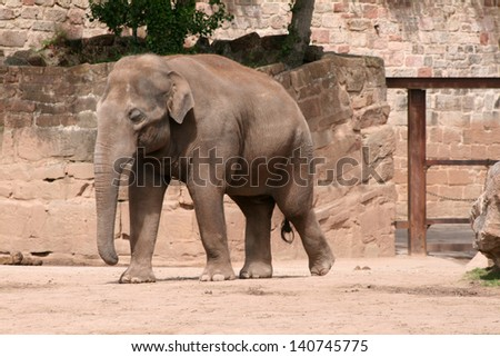 Asian, Asiatic, Indian Elephant (Elephas Maximus) [Chester Zoo, Chester, Cheshire, England, Great Britain, United Kingdom] - stock photo