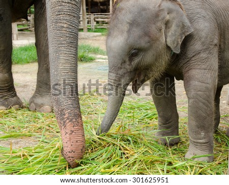 Asian baby elephant standing with her mother and eating grass. - stock photo