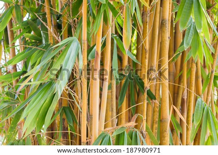 Asian Bamboo - stock photo