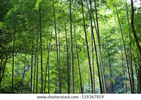 Asian Bamboo forest in the morning. - stock photo
