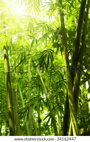 Asian Bamboo forest with morning sunlight. - stock photo
