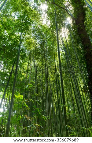 Asian Bamboo forest with morning sunlight - stock photo