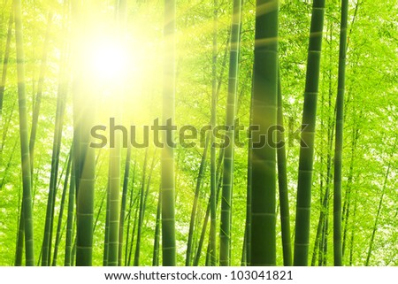 asian bamboo forest with sunny morning - stock photo