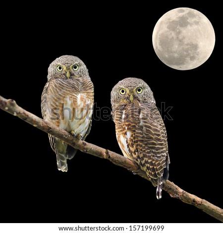 Asian Barred Owlet (Glaucidium cuculoides) and the moon  - stock photo