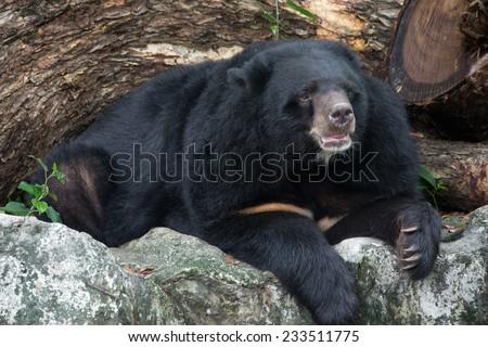 http://thumb7.shutterstock.com/display_pic_with_logo/2364053/233511775/stock-photo-asian-black-bear-ursus-thibetanus-233511775.jpg
