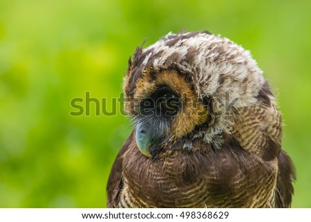 Asian Brown Wood Owl on tree in forest