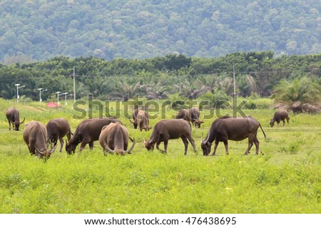 Asian buffalo eat grass on the field