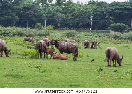 Asian Buffaloes in a field of green grass.