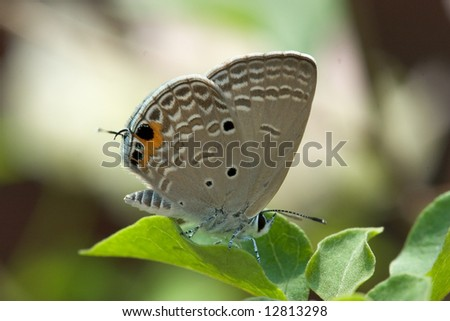 asian butterfly. - stock photo
