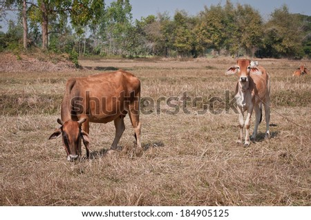 asian cow