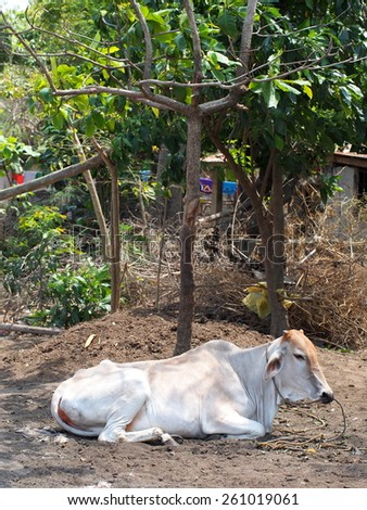 Asian cow lying down on the shade - stock photo