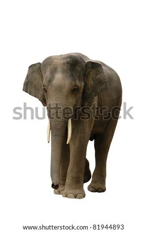 Asian Elephant - stock photo