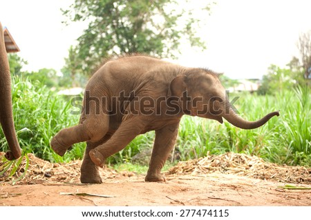 Asian elephant baby dance is joyfully.