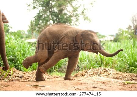 Asian elephant baby dance is joyfully. - stock photo
