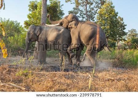 asian elephant breeding - stock photo