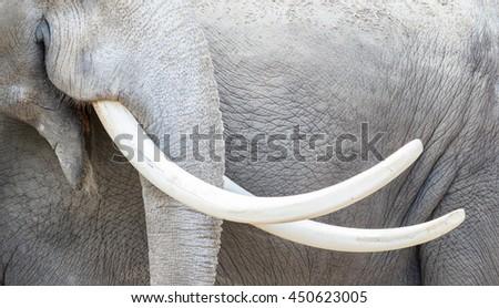 Asian elephant (Elephas maximus) tusks close-up, adult - stock photo