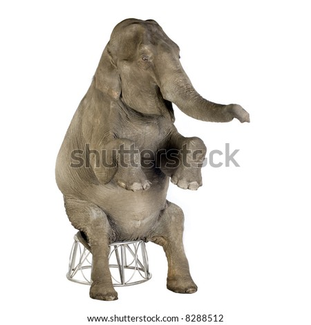 Asian Elephant - Elephas maximus (40 years) in front of a white background - stock photo