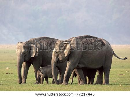 Asian elephant family in the wild, Corbett National Park, India - stock photo