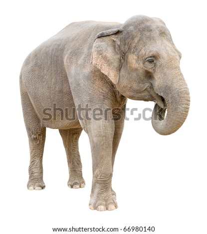 Asian elephant female telling secret isolated on white background