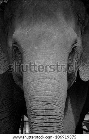 Asian elephant head close up. - stock photo