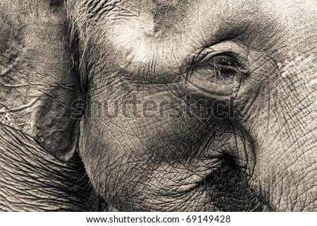 Asian Elephant head close up - stock photo